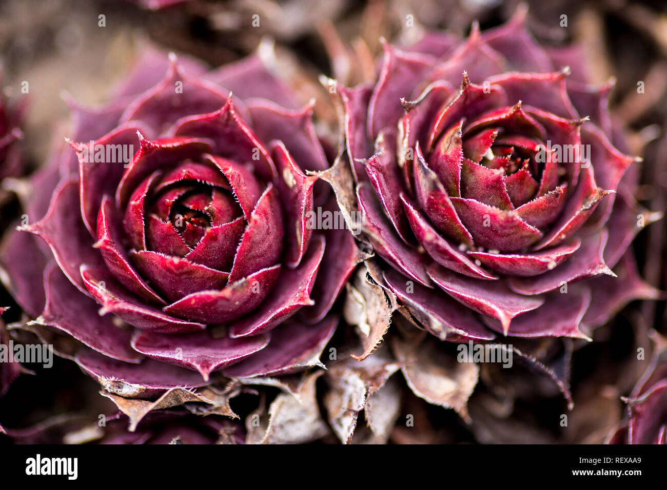 Red Hens and Chicks succulents - Stock Image