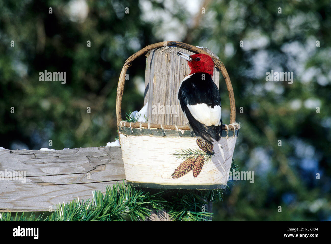 01197-032.19 Red-headed Woodpecker (Melanerpes erythrocephalus) eating from birch basket feeder, Marion Co IL - Stock Image