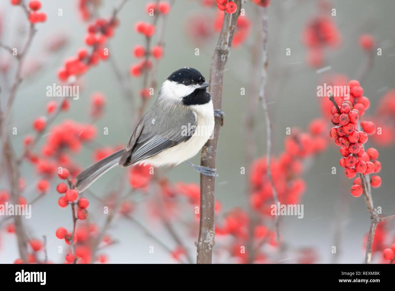 01299-032.02 Carolina Chickadee (Poecile carolinensis) in Common Winterberry (Ilex verticillata) in winter, Marion Co. IL - Stock Image
