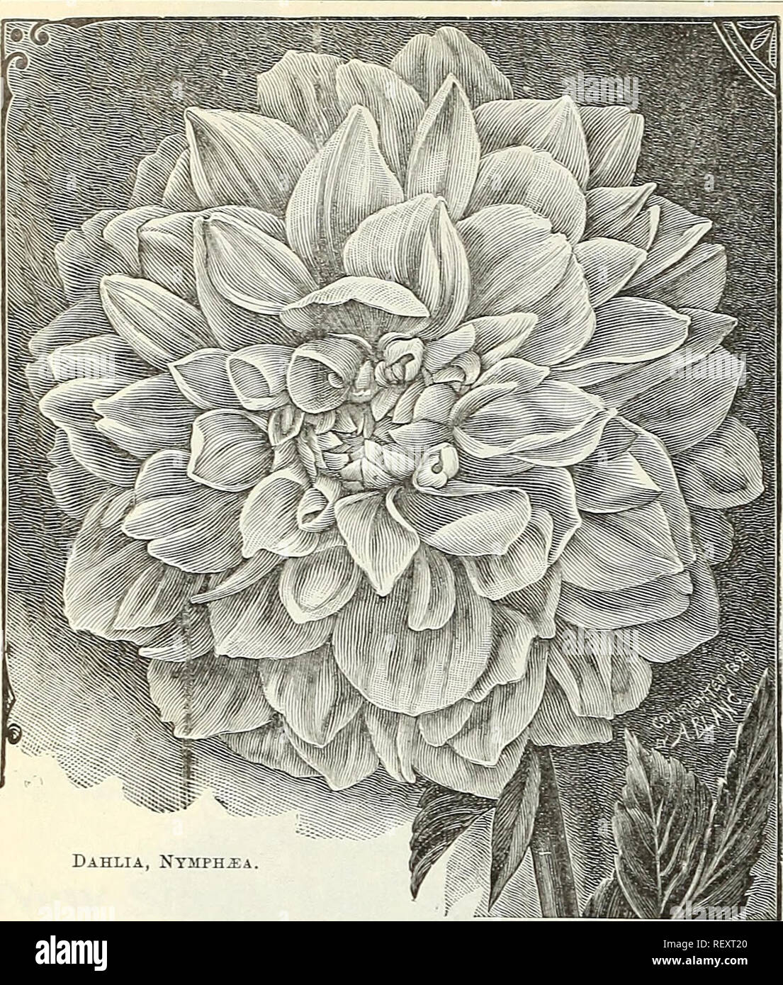 . Dreer's quarterly wholesale price list of tools, fertilizers, insecticides, sundries, etc. Bulbs (Plants) Catalogs; Flowers Seeds Catalogs; Vegetables Seeds Catalogs; Nurseries (Horticulture) Catalogs. 12 DREER'S WHOLESALE PRICE LIST.. Dahlia, Nysiph^a Eighteen Grand Cactns Dahlias. Celestine. Yellow, suffused with orange, giving a rich golden yellow effect. Countess of Pembroke. Pure delicate rosy lavender, flowers of medium size, of perfect form and extremely profuse bloomer. Empress of India. Deep rich maroon, a fine flower. Gilt Edge. Entirely distinct from all others, each petal having  - Stock Image