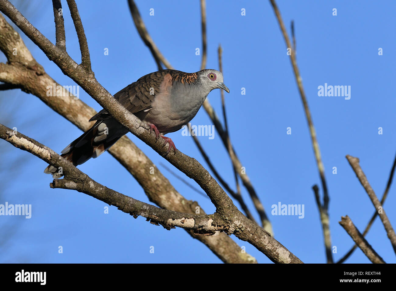 An Australian, Queensland Bar-shouldered Dove ( Geopelia humeralis ) stooping, perched on a branch looking to Camera - Stock Image
