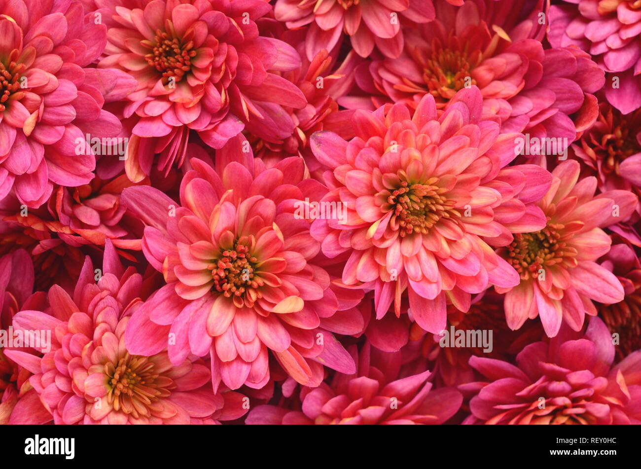 Fall Autumn Floral Background With Deep Red Chrysantemums On White