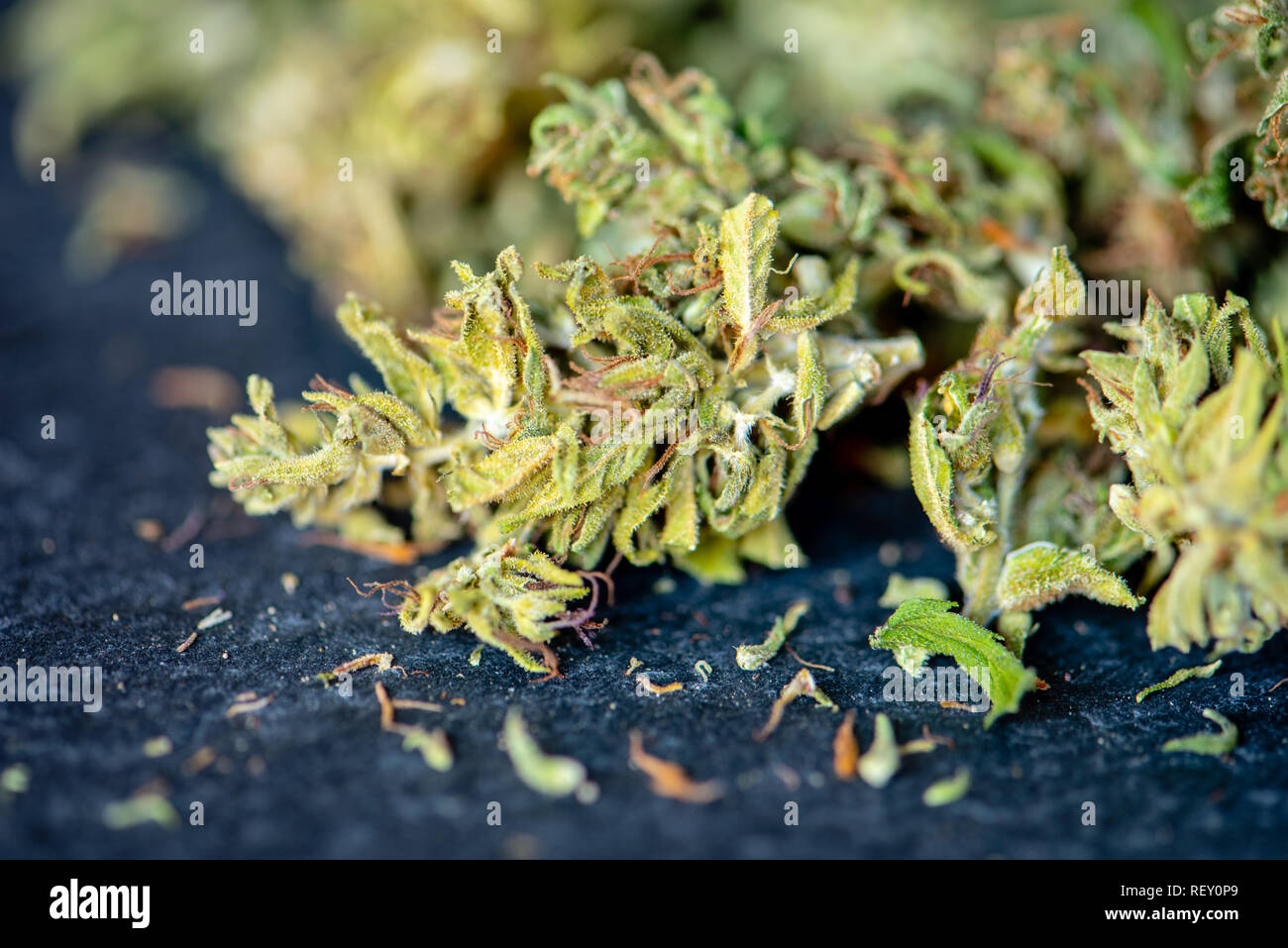 detail of medical hemp buds used to obtain essential oil