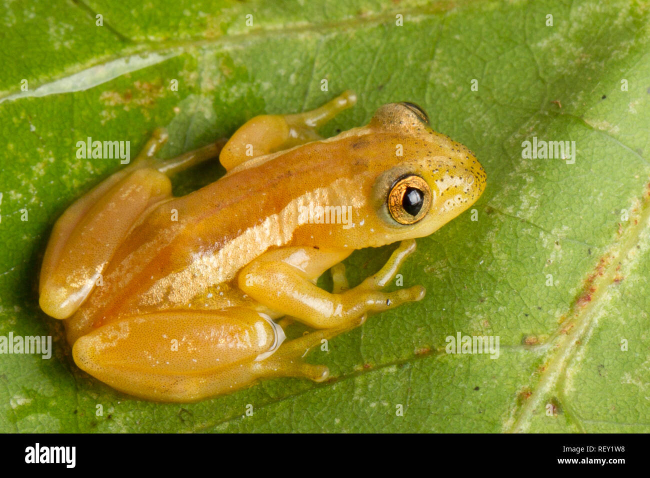 Natal leaf-folding frog or banana frog, Afrixalus spinifrons, is a vulnerable species from the hyperoliidae family found in forests of South Africa. - Stock Image