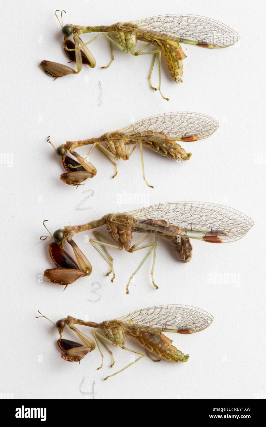 A macro shot shows details of an entomological collection of Mantispid sp., lacewings, order Neuroptera in Richards Bay, KwaZulu-Natal, South Africa - Stock Image