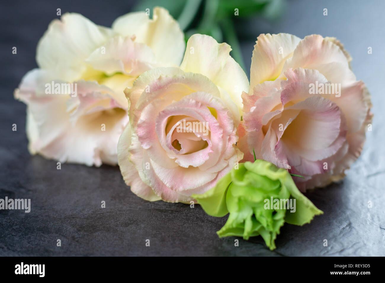 Beautiful and gentle pink Eustoma flowers, Lisianthus, tulip gentian, eustomas on fark background  Close up. - Stock Image