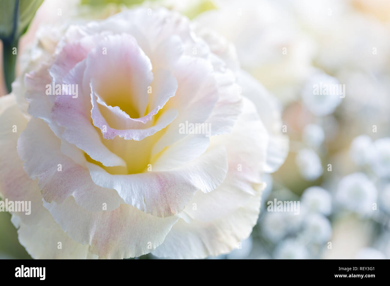 Beautiful and gentle pink Eustoma flowers, Lisianthus, tulip gentian, eustomas. Close up. - Stock Image