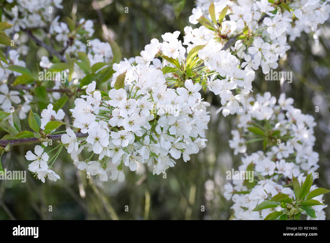 Sweet Cherry 'William's seedling' blossom in Spring. - Stock Image