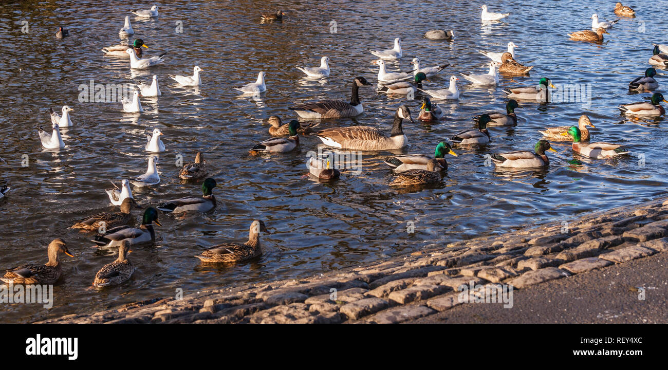 Ducks and gulls on the water in the lake at Ropner Park, Stockton on Tees, England, UK Stock Photo