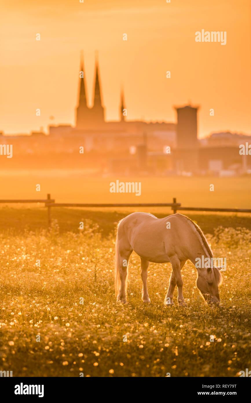 Grazing horse in pastureland with the Uppsala skyline at sunset, Sweden, Scandinavia. - Stock Image