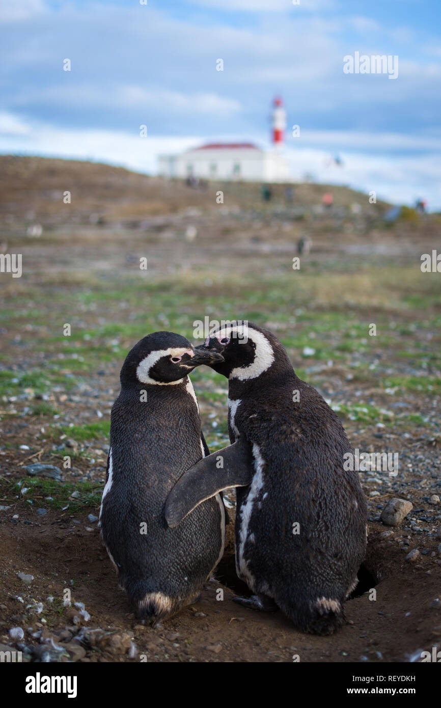 Two Magellanic penguins (Spheniscus magellanicus) watch over their nest on Magdalena Island near Punta Arenas, Chile. - Stock Image