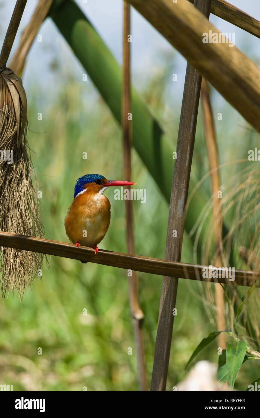 C Cristatus Stock Photos & C Cristatus Stock Images - Alamy