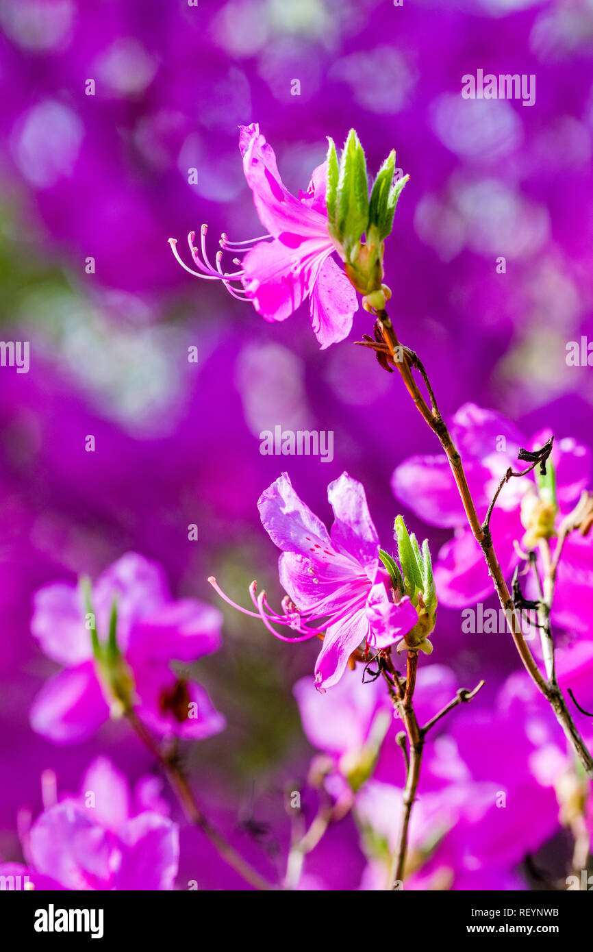 Close-up of blooming purple Rhododendron flowers (Ericaceae) - Stock Image