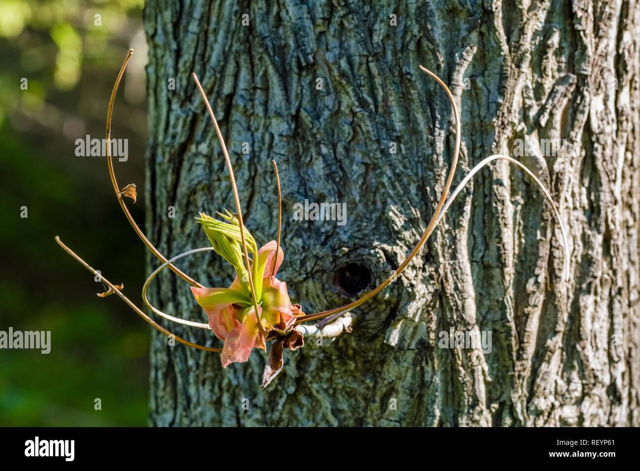Shellbark hickory (Carya laciniosa) blooming - Stock Image