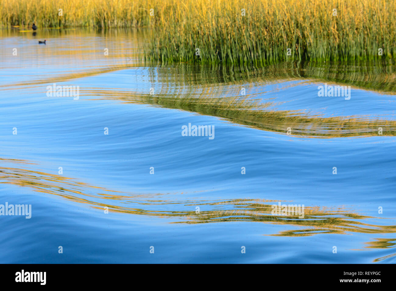 Reed on the shores of Lake Titicaca, Peru - Stock Image