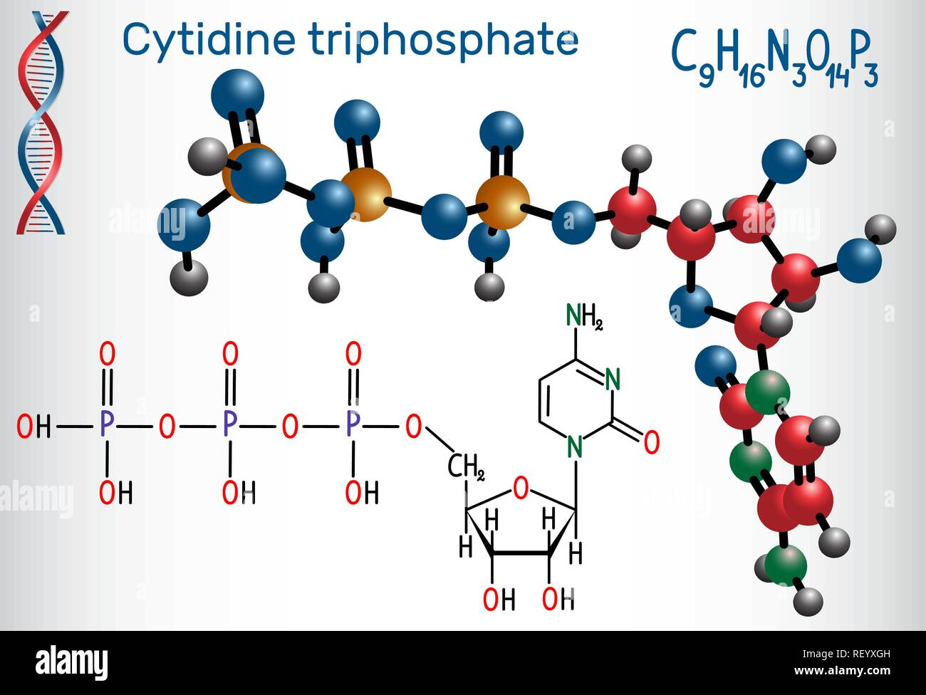 Cytidine triphosphate (CTP) molecule, it is pyrimidine nucleoside molecule, is a substrate in the synthesis of RNA. Structural chemical formula and mo Stock Vector