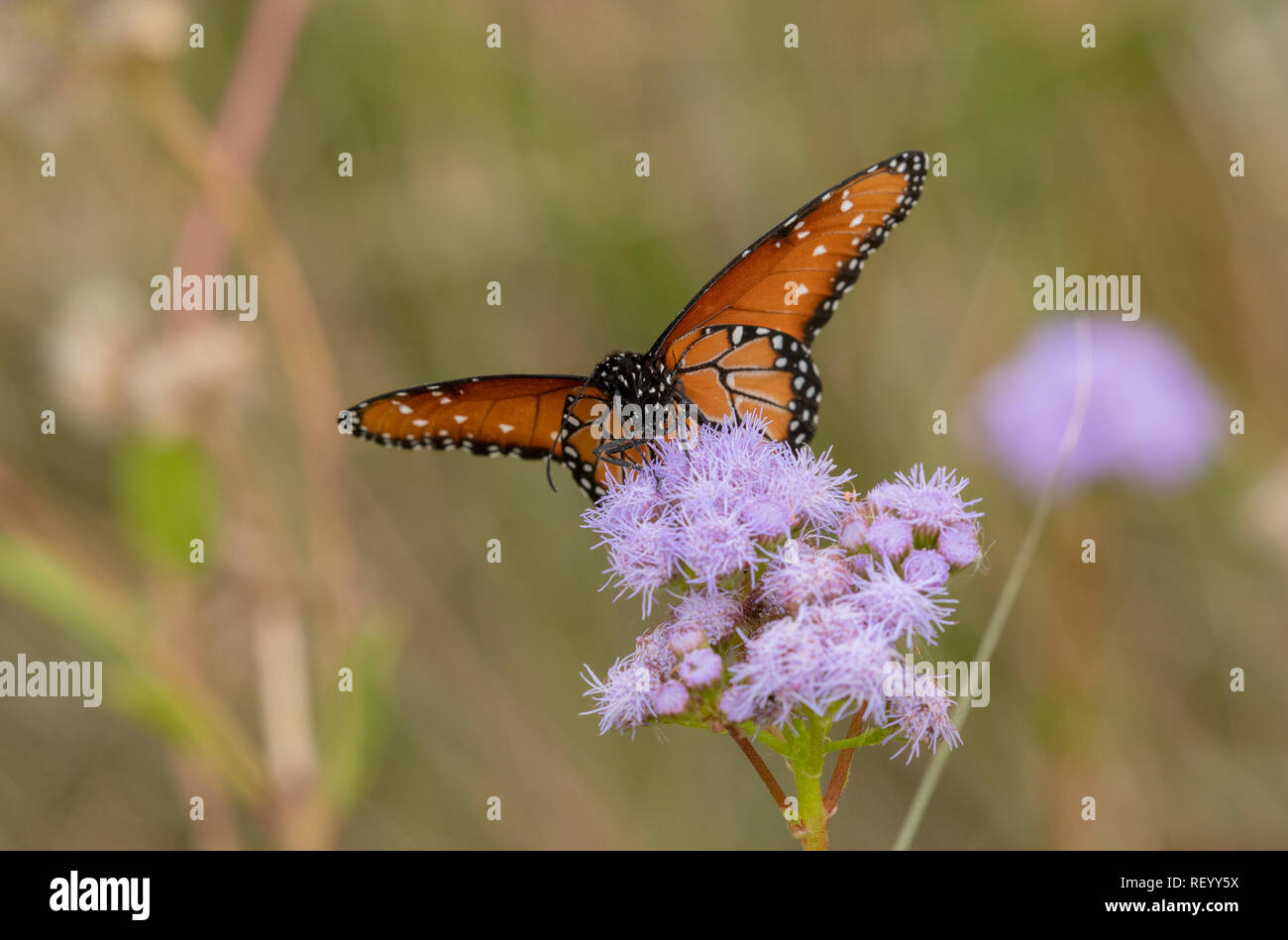 Queen butterfly, Danaus gilippus, feeding on flowers in winter, Texas - Stock Image