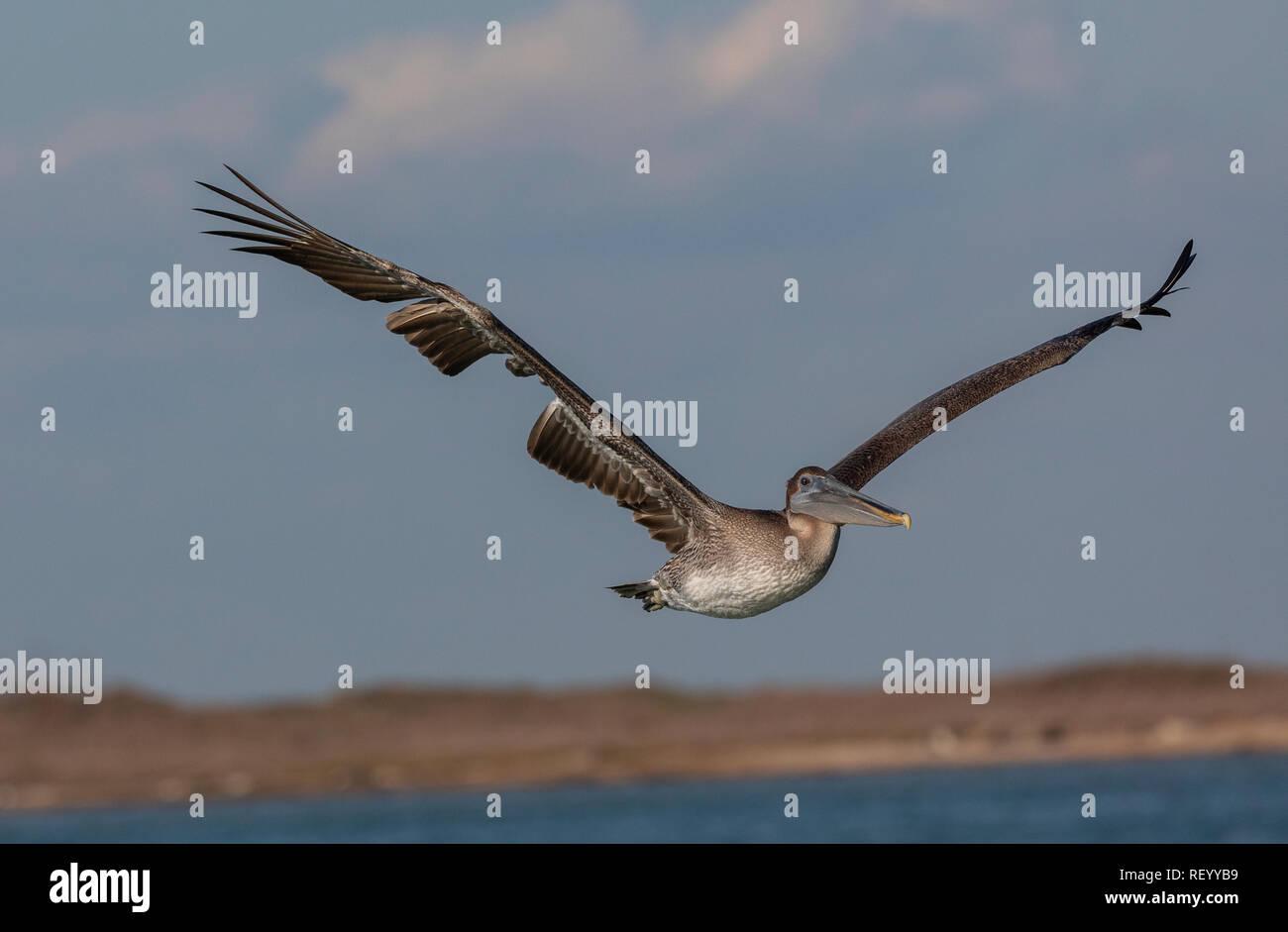 Brown pelican, Pelecanus occidentalis, in flight, Texas coast. Stock Photo