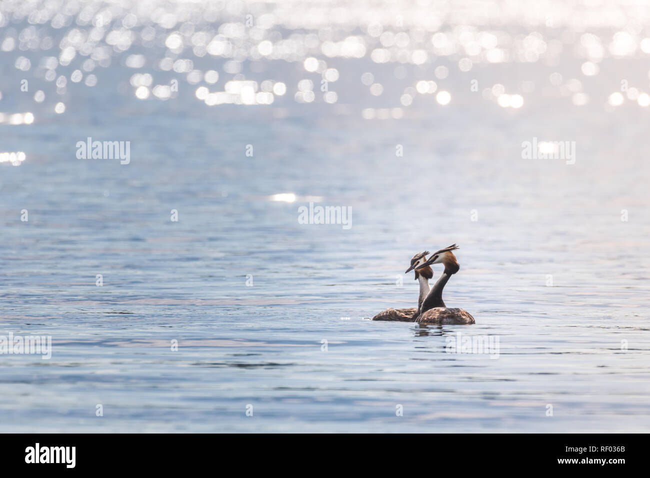 Two grebes (podiceps cristatus) are swimming on a lake while enjoying the late afternoon sun. - Stock Image