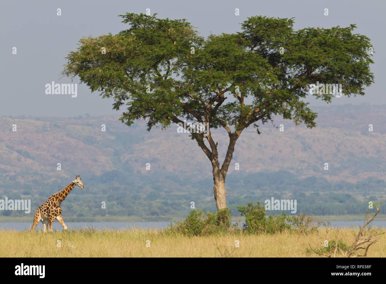 Murchison Falls National Park, Uganda, protects an important population of the endangered Rothschild's giraffe, Giraffa camelopardalis rothschildi - Stock Image