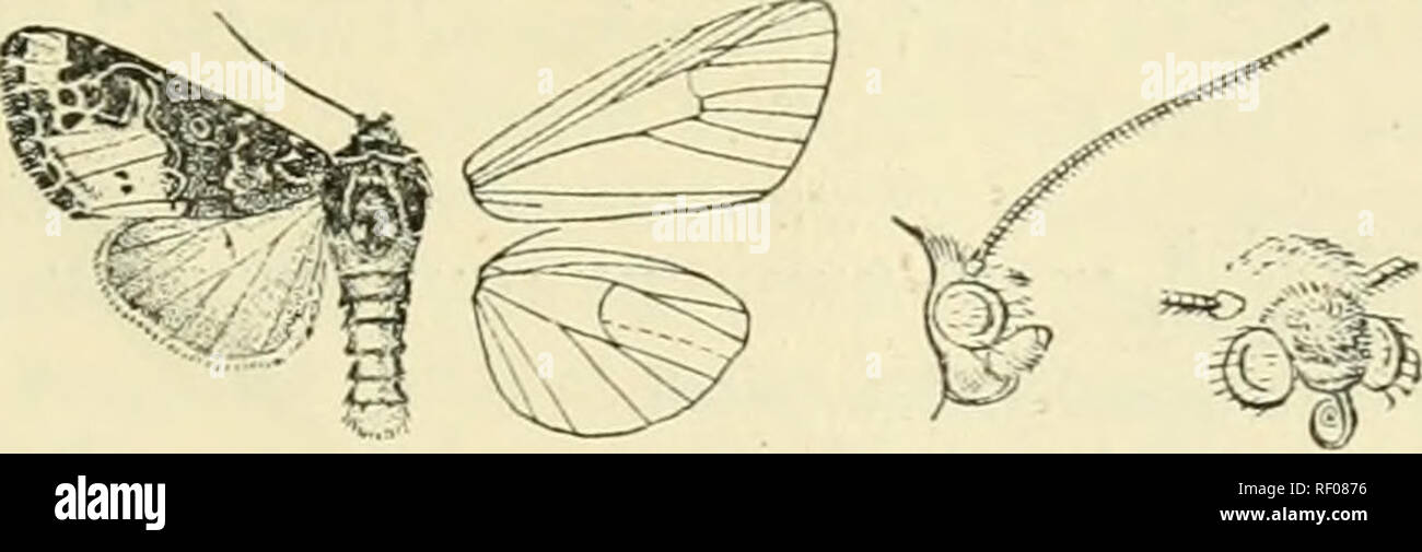. Catalogue of Lepidoptera Phalaenae in the British Museum. Supplement. Moths. POLYTELODES. 455 curved ; veins 3 and 5 from near angle of nell; 6 from upper angle ; 9 from 10 anastomosing with 8 to form the areola; 11 from cell. Hind wing with reins 3, 4 from angle of cell; n obs&lescent from just below middle of disoo- cellulars; 6, 7 from upper angle or shortly stalked ; 8 anastomosing with the cell near base only. 1800. Polytelodes florifera. Fohjtelaflorifcra, Wlk. xv. 1666 (1858). Head and thorax blue-black ; palpi orange, with black bands on 1st and 2nd joints ; lower part of frons,  - Stock Image