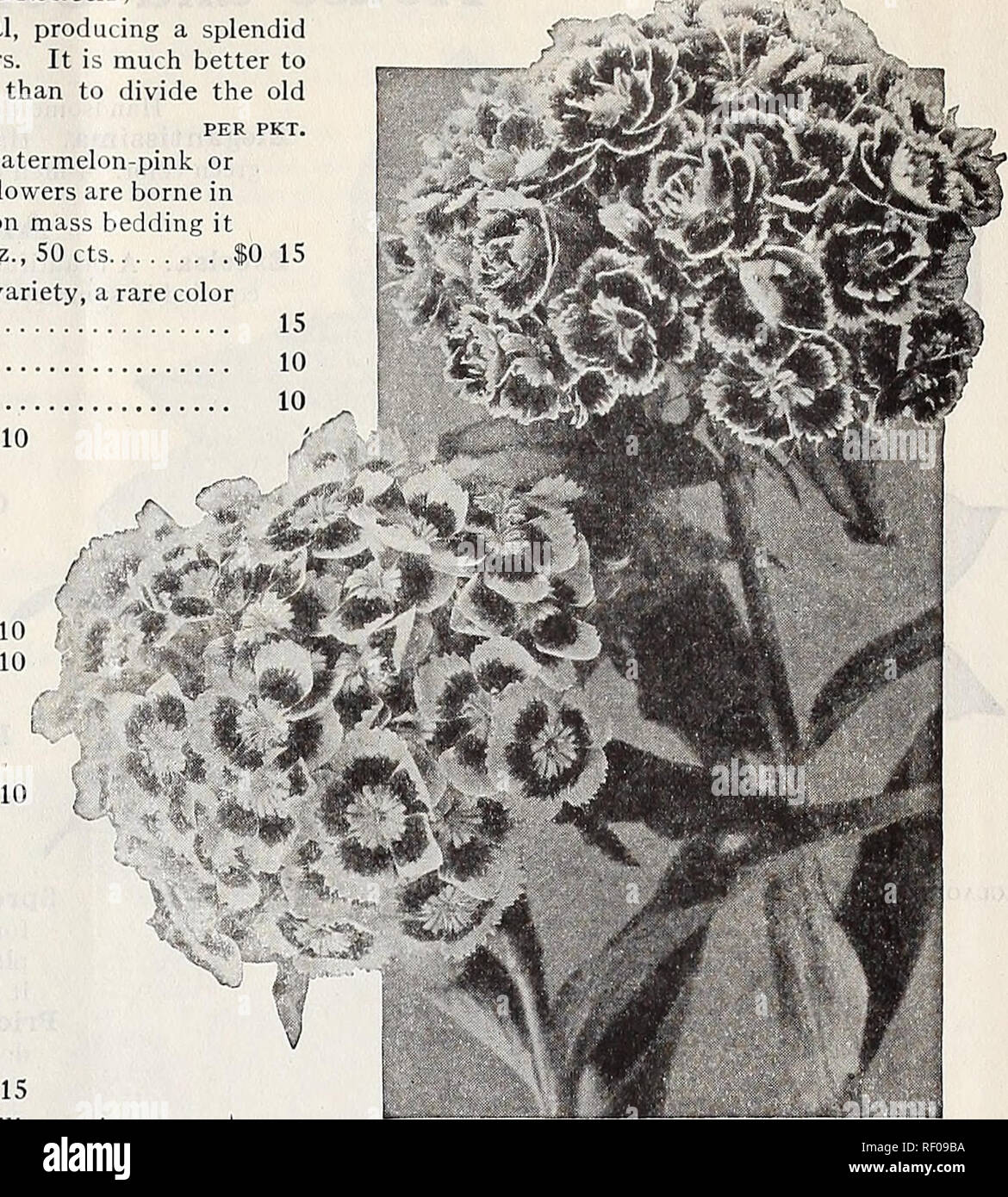 . Dreer's midsummer list 1932. Flowers Seeds Catalogs; Fruit Seeds Catalogs; Vegetables Seeds Catalogs; Nurseries (Horticulture) Catalogs; Gardening Equipment and supplies Catalogs. DREER'S FLOWER SEEDS FOR SUMMER SOWING 23 Sweet William (Dianthus Barbatus) A well-known, attractive, free-flowering hardy perennial, producing a splendid effect in beds and borders with their rich and varied flowers. It is much better to raise new vigorous young plants from seed every season than to divide the old plants; 18 inches. PER PKt. 4282 Newport Pink. In color it is what florists call watermelon-pink or s - Stock Image