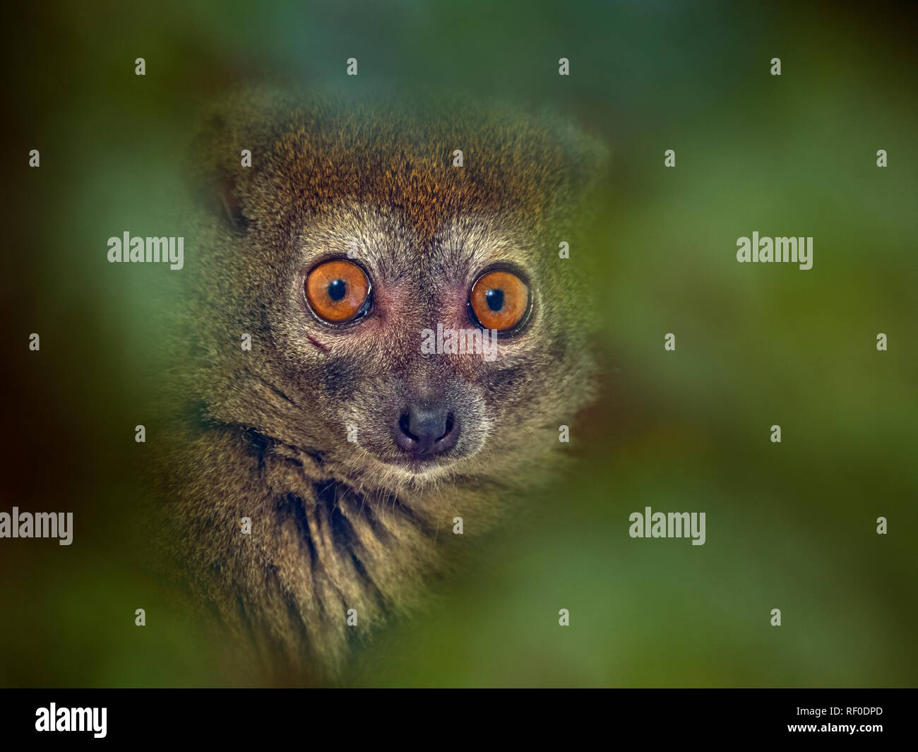 Western lesser bamboo lemur Hapalemur occidentalis also known as the northern bamboo lemur or western gentle lemur - Stock Image