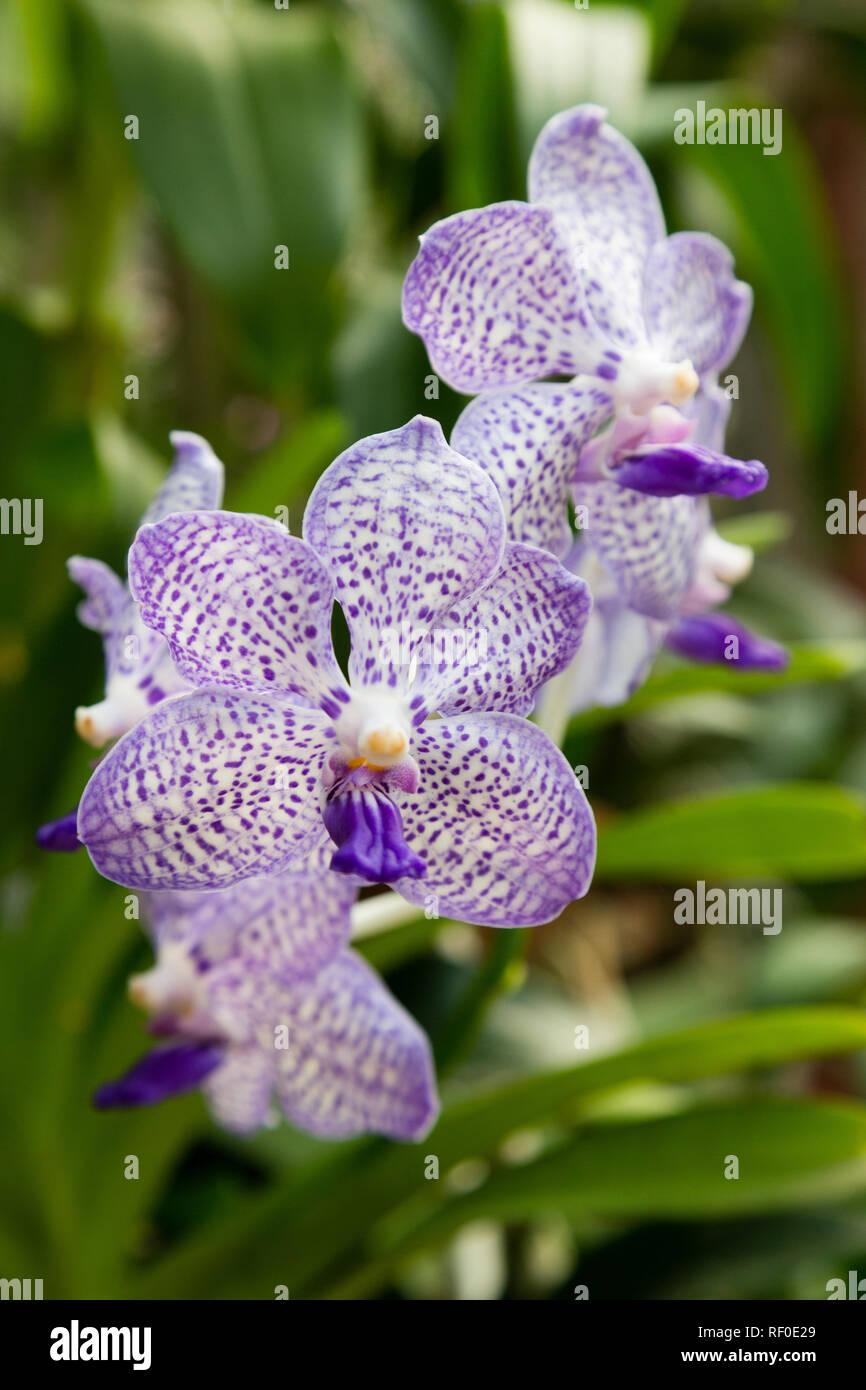 Orchid Flower Sri Lanka Stock Photo Alamy