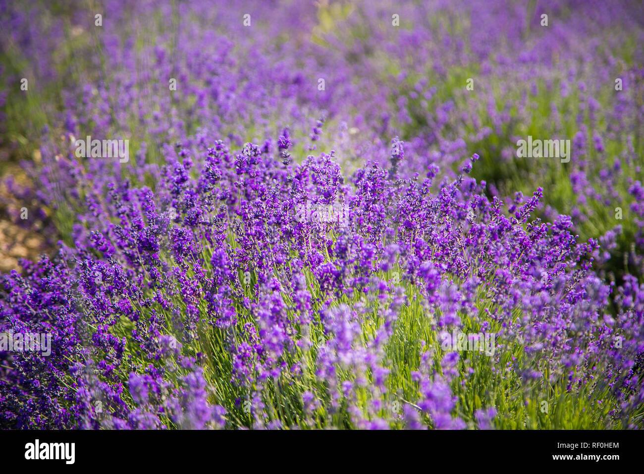 Lavender bushes closeup on sunset. Sunset gleam over purple flowers of lavender. Bushes on the center of picture and sun light on the left. Provence r Stock Photo