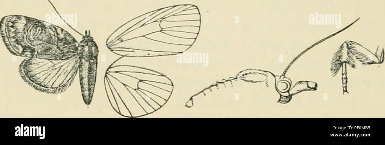 . Catalogue of Lepidoptera Phalaenae in the British Museum. Supplement. Moths. 298 KOCTDID.i:. by (lark broNsii on inner side, minutely waved, excurved below costa and at middle ; a tine blackish terminal line sliglitly defined by grey on inner side. Hind Aving semihyaline white, the termen narrowly reddish brown. JIah. Madhas, Belgaum [Watson), 1 ^J ; Ceylox, Colombo {Green), 1 (S tyi^e. Exj), 20 millim. 6593. Selepa celtis. Sdepa cdfis, Moore, Lcp. E. I. Co. p. 353, pi. ICi. ff. 8, 8a (1858); id. Lep. Ceyl. iii. p. Wd, pi. 158. F. 5; Hinpsn. JVLjUis lud. ii. p. 370. Subrita curviferella, Wll Stock Photo