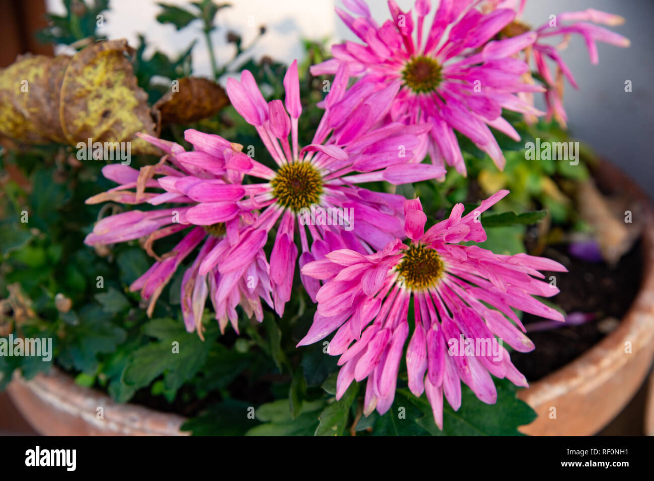 Pink aster cultivated in pot. Scientific name Aster, is a genus of dicotyledonous spermatophyte plants belonging to the Asteraceae family. - Stock Image