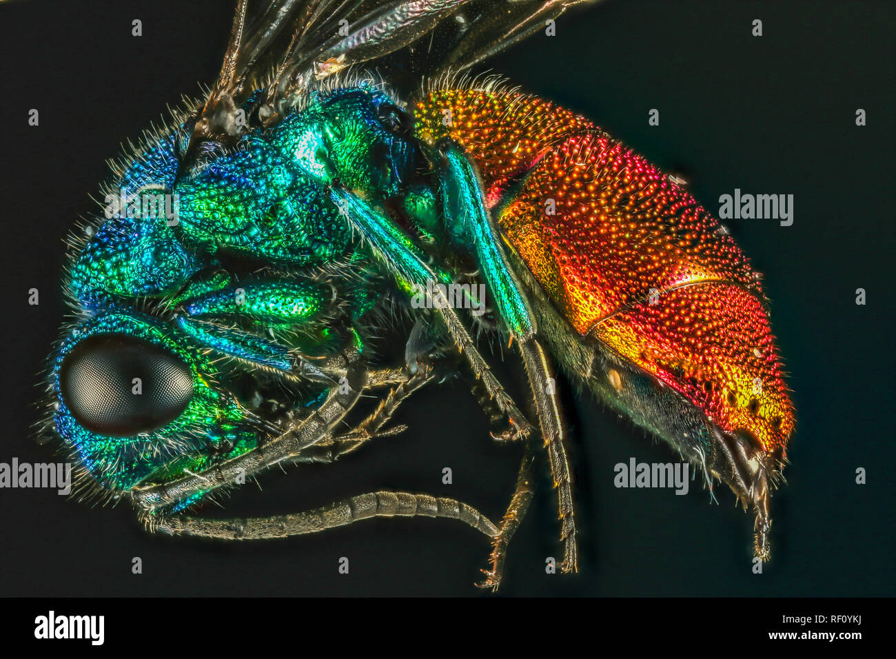 ruby tailed wasp focus stacked - Stock Image