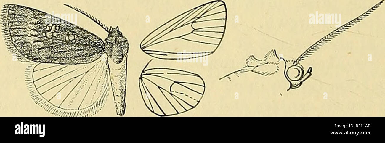 . Catalogue of the Lepidoptera Phalænæ in the British museum. Moths. Fig. 110.—Amefrontia 'purpurea, (^. |. Bab. SoKOTKA, Hadibu Plain {0.-Grant), 1 r7 type; Bb. E. Africa, Taveta {St. A. Rogers), 1 S. Exp. 26 millim. Genus ETHIOPICA, nov. Type, E. vinosa. Proboscis aborted, not functional; palpi upturned, the 2nd joint i-eaching about to middle of frons and moderately fringed with hair, the 3rd joint short; frons smooth ; eyes large, rounded; thorax clothed chiefly with scales, the pro- and metathorax with spreading crests; tibiae smoothly scaled; abdomen without crests. Fore wing with the ap - Stock Image