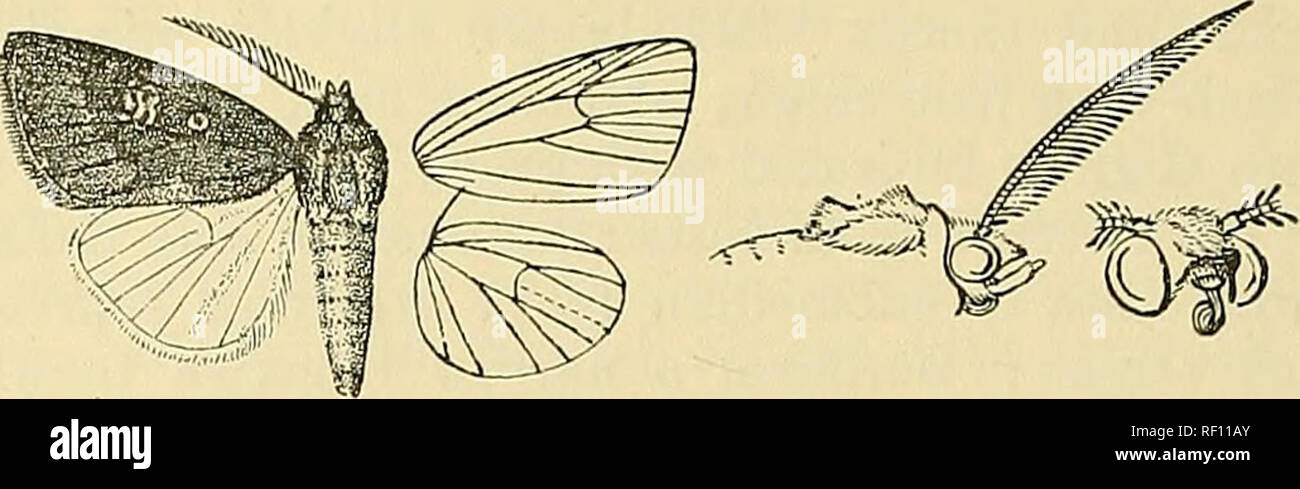 . Catalogue of the Lepidoptera Phalænæ in the British museum. Moths. 418 N0CTUIDJ3. before the fine dark terminal line ; cilia dark red-brown. Hind wing white, the inner area with some pale brown hair; cilia mixed with reddish, the underside with the costal area irrorated with red.. Fig. 110.—Amefrontia 'purpurea, (^. |. Bab. SoKOTKA, Hadibu Plain {0.-Grant), 1 r7 type; Bb. E. Africa, Taveta {St. A. Rogers), 1 S. Exp. 26 millim. Genus ETHIOPICA, nov. Type, E. vinosa. Proboscis aborted, not functional; palpi upturned, the 2nd joint i-eaching about to middle of frons and moderately fringed with  - Stock Image