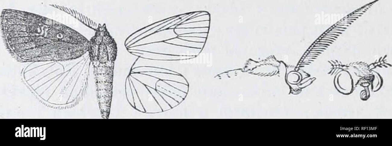 . Catalogue of Lepidoptera Phalaenae in the British Museum. Moths. 418 N0CXUIDJ2. before the fine dark terminal line ; cilia dark red-brown. Hind wing white, the inner area with some pale brown hair; cilia mixed Avith reddish, the underside with the costal area irrorated with red.. Fig. 110.—Aincfrontia purpurea, J. %. Ilah. SoKOTEA, Hadibu Plain {O.-Grant), 1 rT type Afkica, Taveta {St. A. Uotjers), 1 S - Exp. 26 millim. Br. E. Genus ETHIOPICA, nov. Type, E. rinosa. Proboscis aborted, not fuuctional; palpi upturned, the 2nd joint reaching about to middle of irons and nuiderately fringed with  - Stock Image