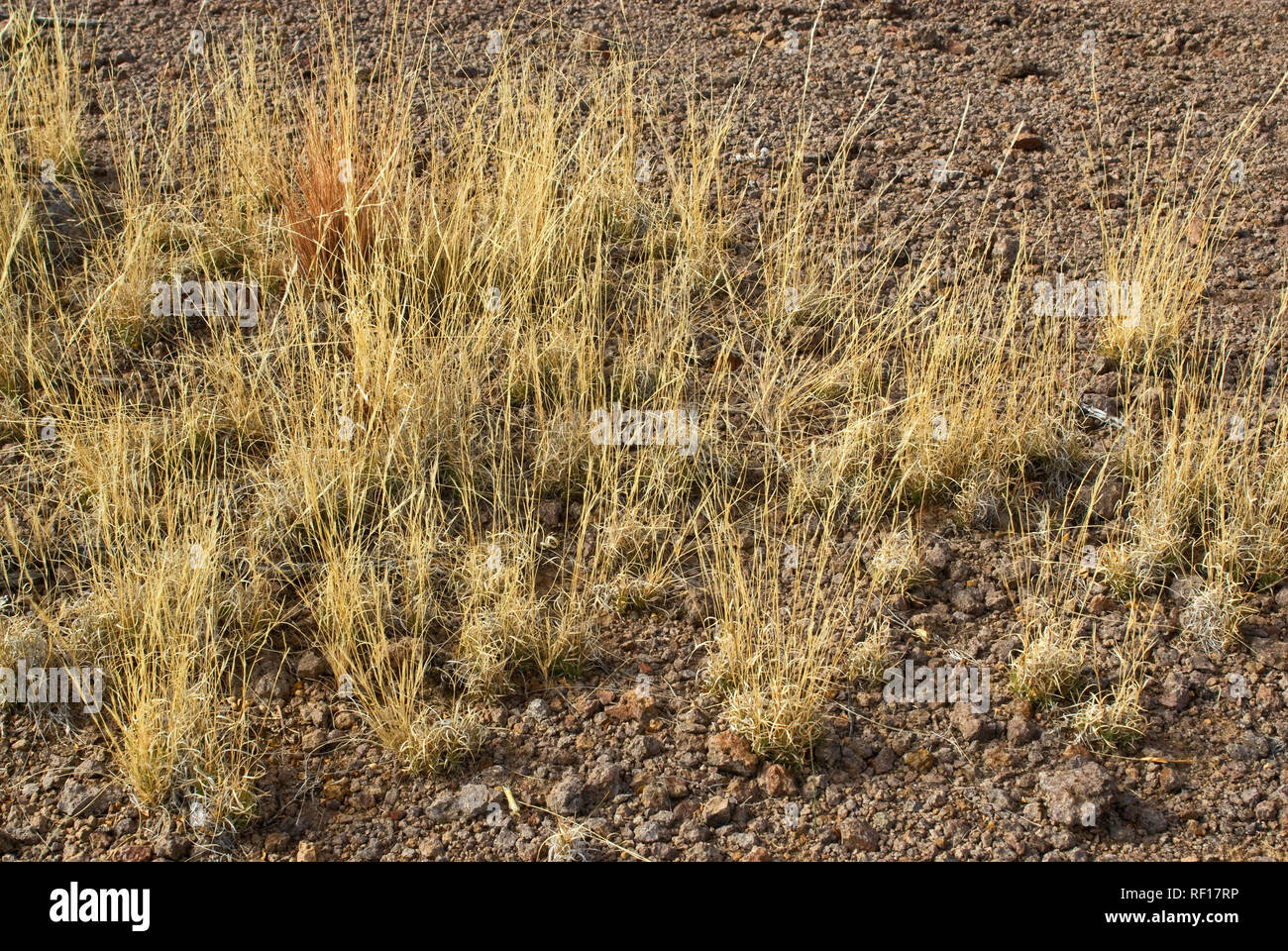 Grass growing back after decades of overgrazing damage, Chihuahuan Desert, Cinco Tinajas Trail at Big Bend Ranch State Park, Texas, USA - Stock Image