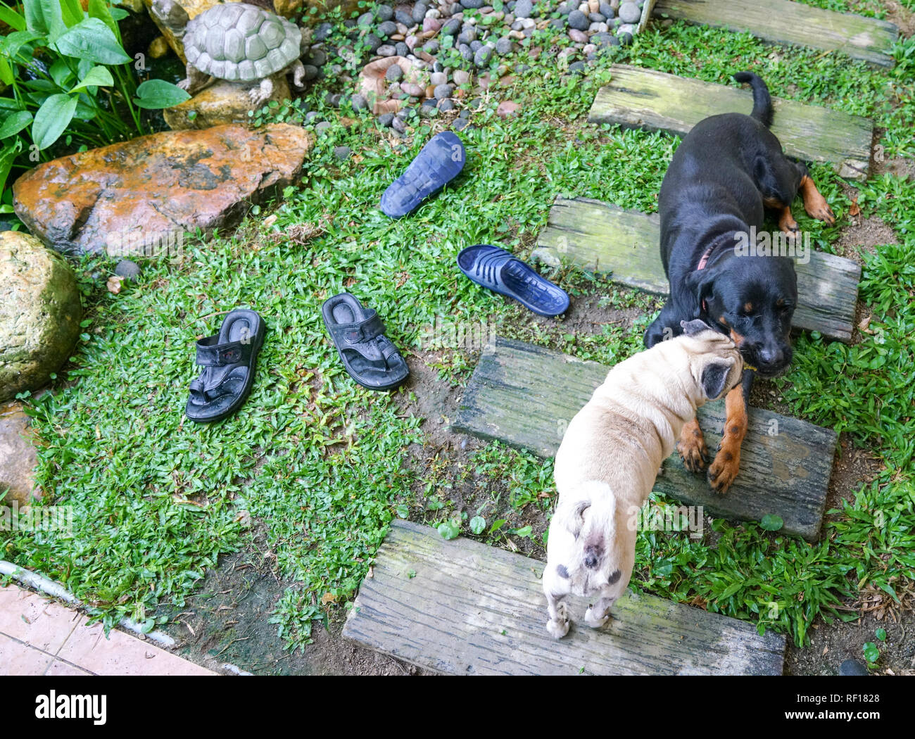 Pug and Rottweiler in a garden - Stock Image
