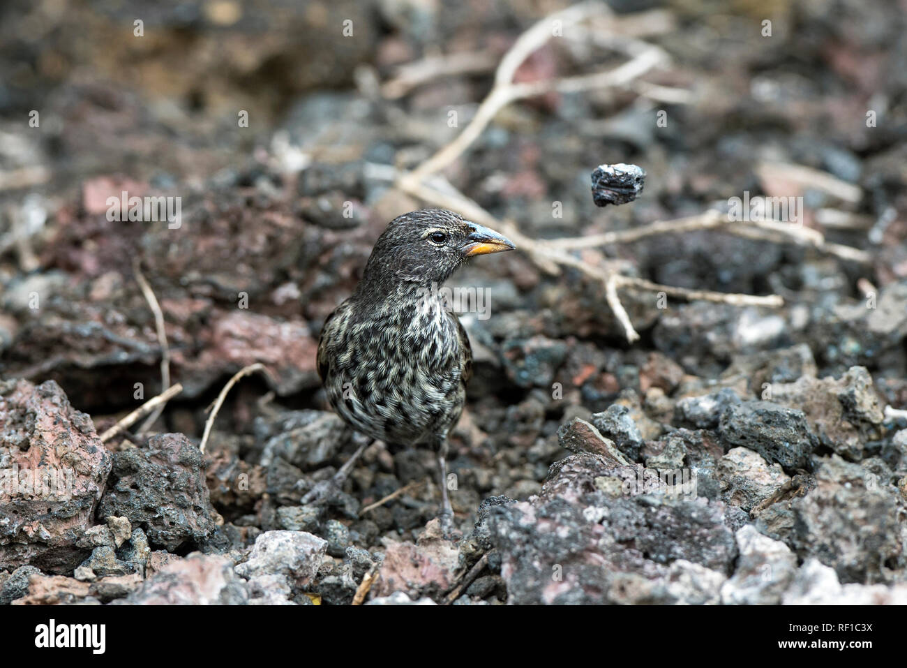 Darwin finch Medium Ground Finch (Geospiza fortis) removing stones in search for food, Isabela Island, Galapagos Islands, Ecuador - Stock Image