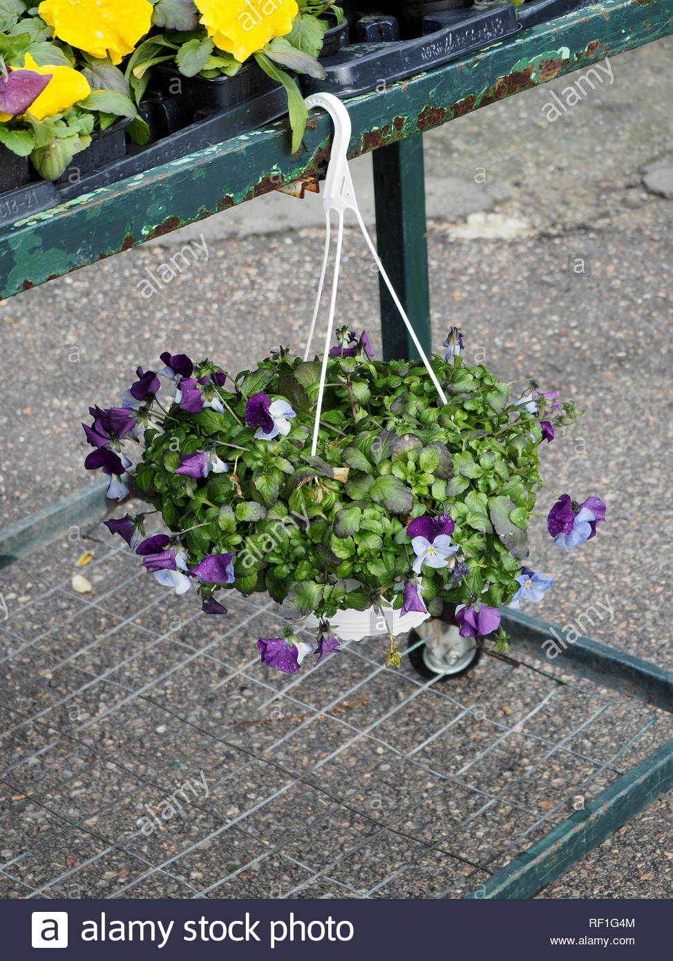 Purple and white cyclamine in a hanging flowers pot - Stock Image