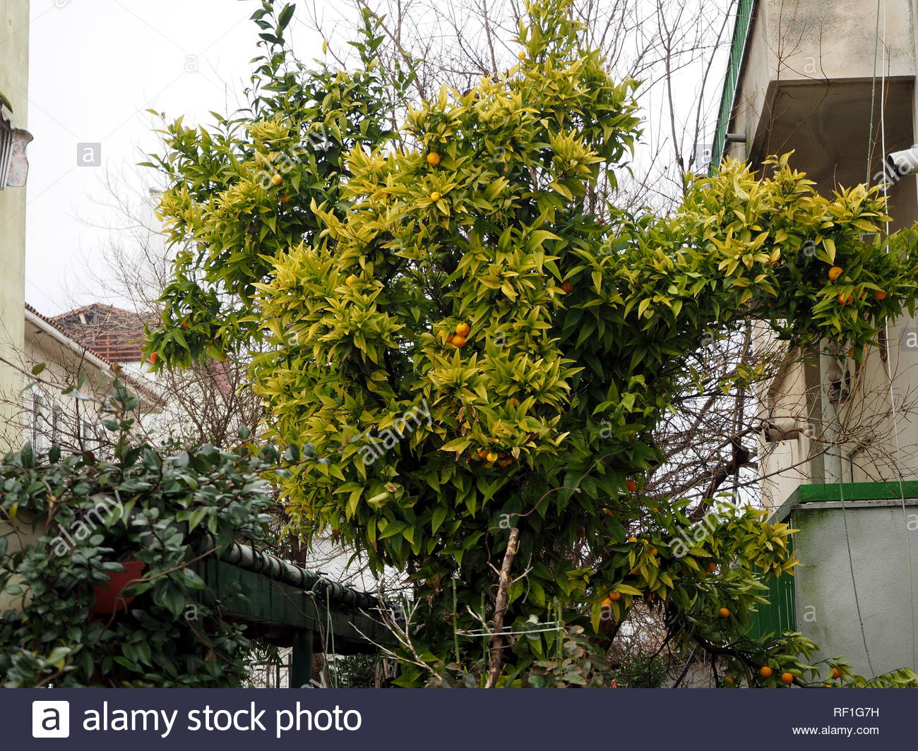Mandarin orange tree - Stock Image