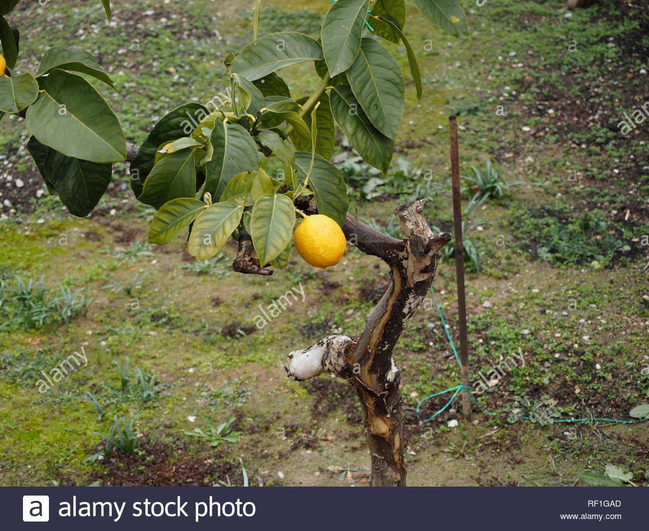 Lemon on a small pruned lemon tree - Stock Image