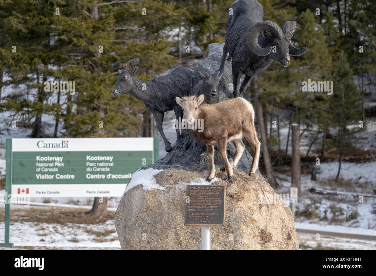 Radium Hot Springs, British Columbia, Canada - Janurary 20, 2019: Bighorn sheep baby ewe stands on top of a statue of Bighorn sheep, confused, thinkin - Stock Image