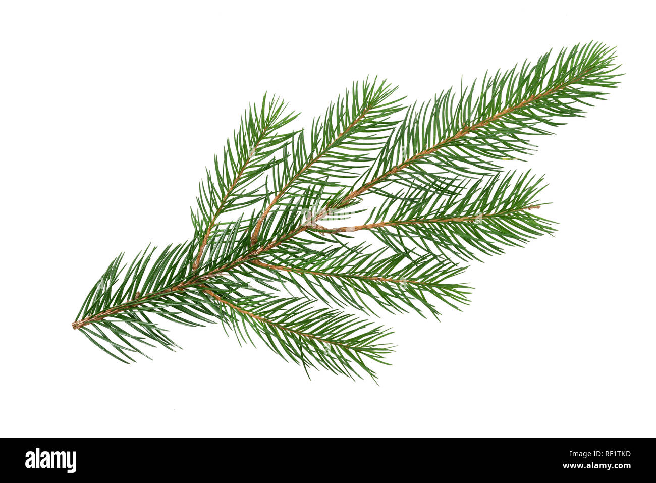 Perfect spruce branch isolated on a white background in close-up (high details) - Stock Image