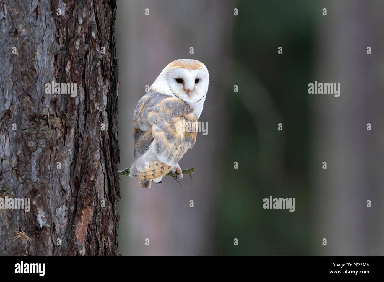 Common barn owl (Tyto alba) sits on twig, captive, Pilsen, Czech Republic - Stock Image