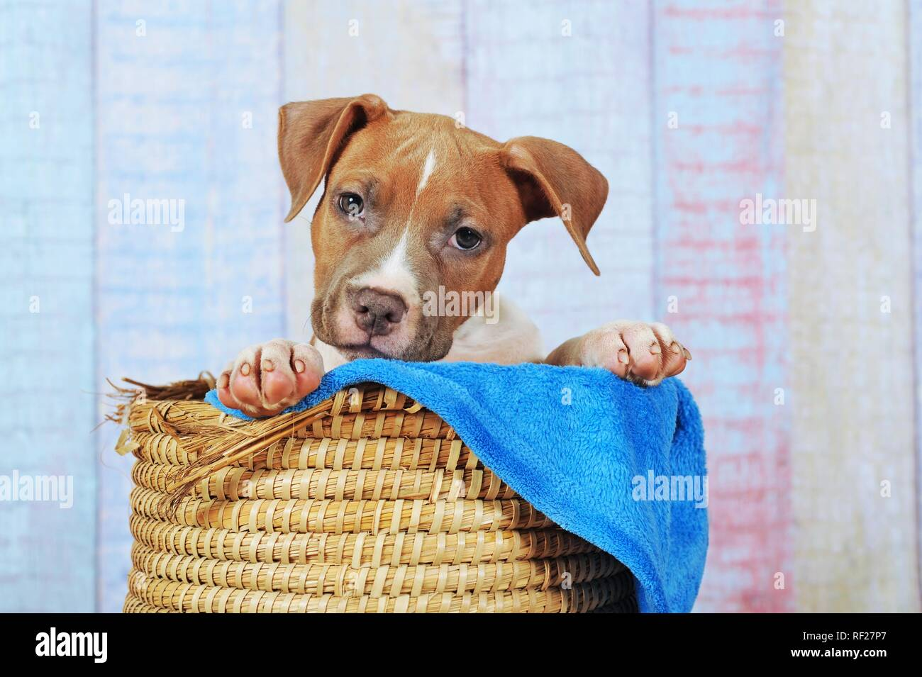 American Staffordshire Terrier, puppy 11 weeks, red white, sitting in basket, Austria - Stock Image