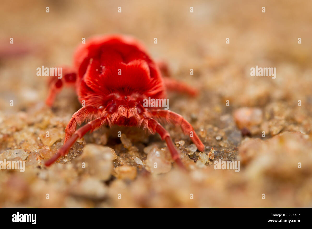 Adult red velvet mites, Dinothrombium spp, spend most of their time underground in burrows but come out after summer rains in Limpopo, South Africa - Stock Image