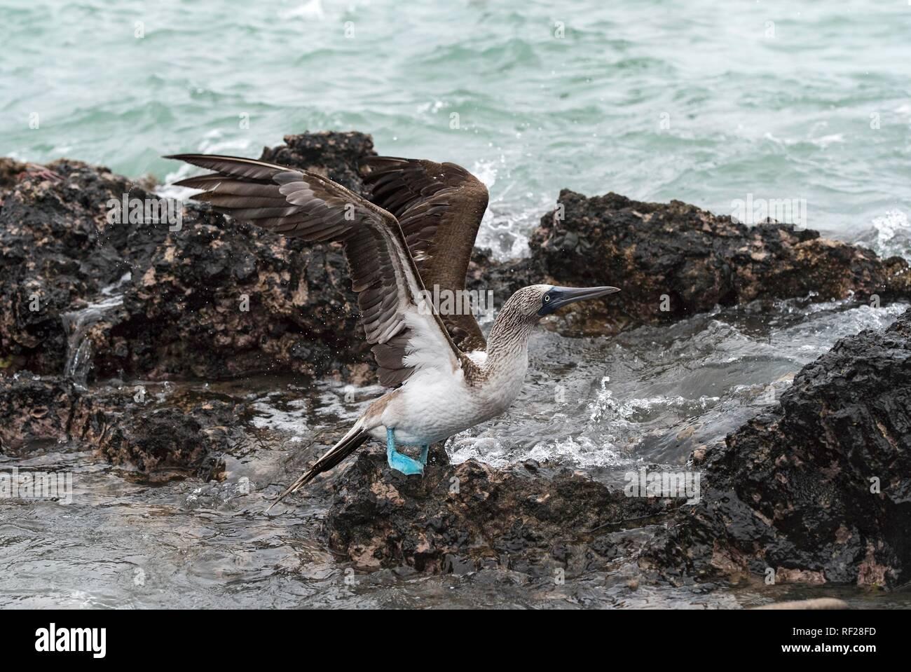 Blue-footed booby (Sula nebouxii), Isabela Island, Galapagos Islands, Ecuador - Stock Image