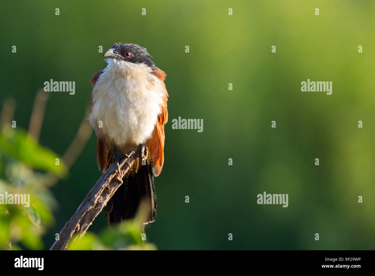 Burchell's Coucal, Centropus burchelli, has bubbling call, frequently herd in the bush around Kruger National Park, Limpopo Province, South Africa. - Stock Image