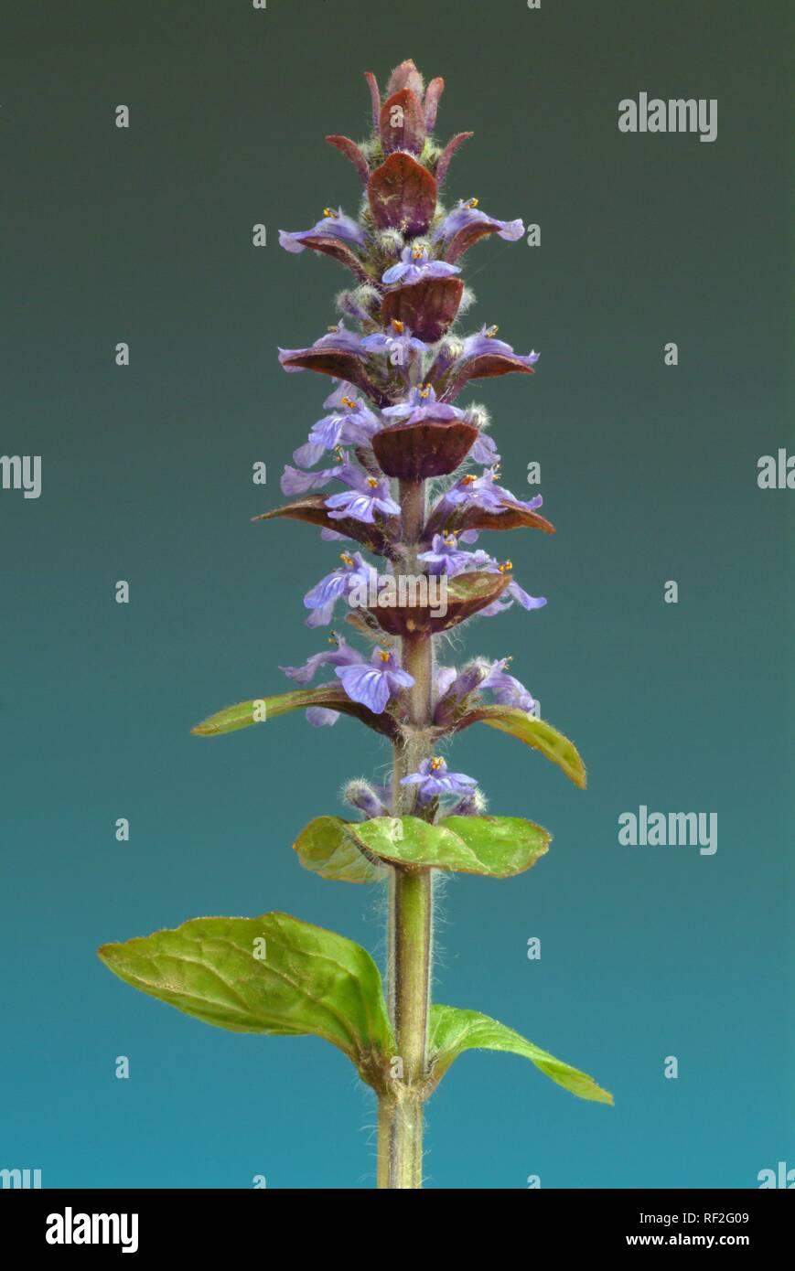Blue Bugle, Bugleherb, Bugleweed or Carpetweed (Ajuga reptans), medicinal plant Stock Photo