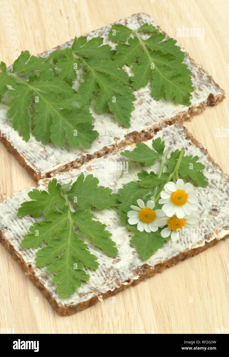 Feverfew (Chrysanthemum parthenium), fresh leaves on buttered bread, medicinal herb used to treat migraines - Stock Image